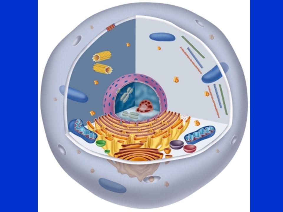 •Energiecentrale = mitochondrien –Energie nodig voor onderhoud en productie •Lopende band –ER en ribosomen – maken eiwitten –Golgi-aparaat – verpakken en verzenden •Kantoor –Celkern met DNA die alle processen coordineert.