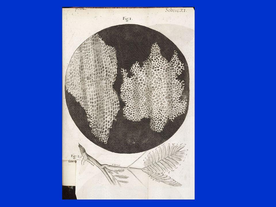 Microscoop en Cellen –1665 •Robert Hooke was de eerste die plantencellen bestudeerde.