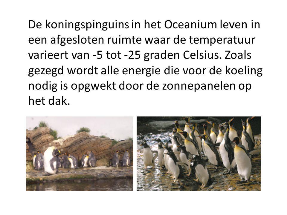 De koningspinguins in het Oceanium leven in een afgesloten ruimte waar de temperatuur varieert van -5 tot -25 graden Celsius. Zoals gezegd wordt alle