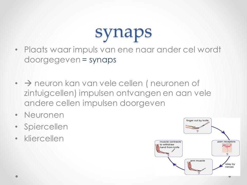 synaps • Plaats waar impuls van ene naar ander cel wordt doorgegeven = synaps •  neuron kan van vele cellen ( neuronen of zintuigcellen) impulsen ontvangen en aan vele andere cellen impulsen doorgeven • Neuronen • Spiercellen • kliercellen
