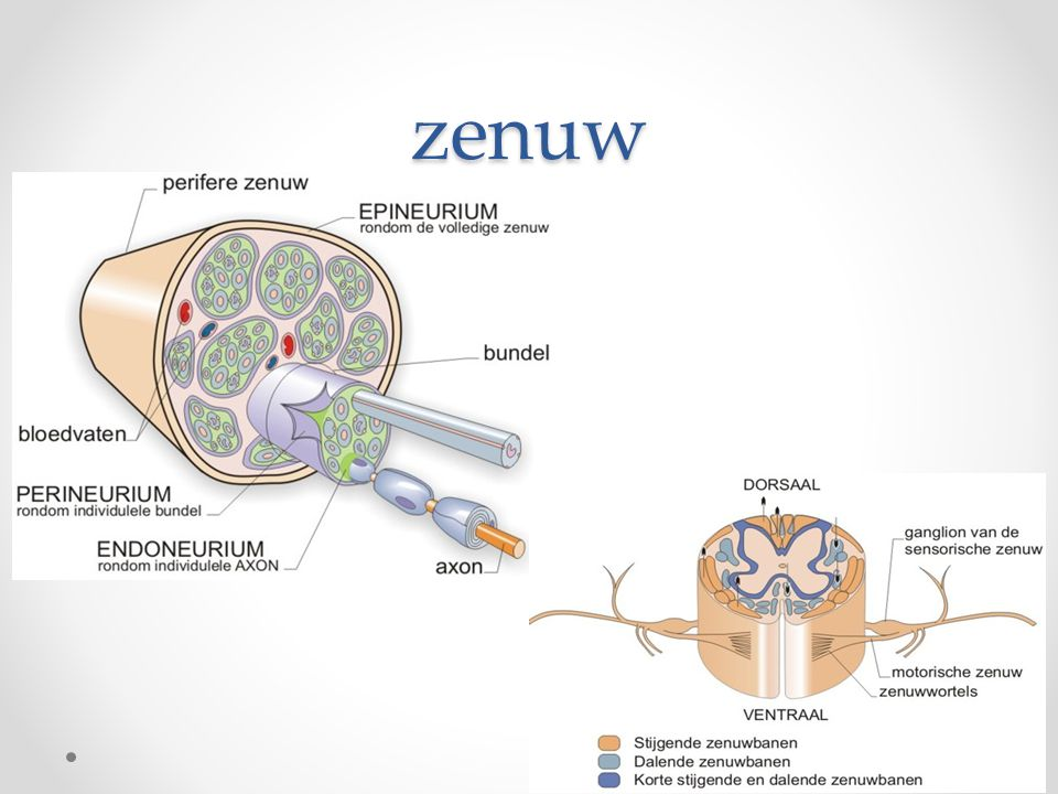 zenuw