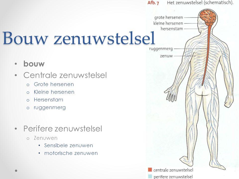 Bouw zenuwstelsel • bouw • Centrale zenuwstelsel o Grote hersenen o Kleine hersenen o Hersenstam o ruggenmerg • Perifere zenuwstelsel o Zenuwen • Sensibele zenuwen • motorische zenuwen