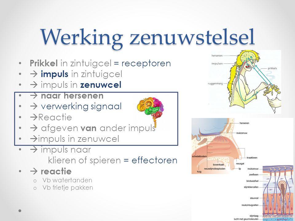 Werking zenuwstelsel • Prikkel in zintuigcel = receptoren •  impuls in zintuigcel •  impuls in zenuwcel •  naar hersenen •  verwerking signaal •  Reactie •  afgeven van ander impuls •  impuls in zenuwcel •  impuls naar klieren of spieren = effectoren •  reactie o Vb watertanden o Vb frietje pakken