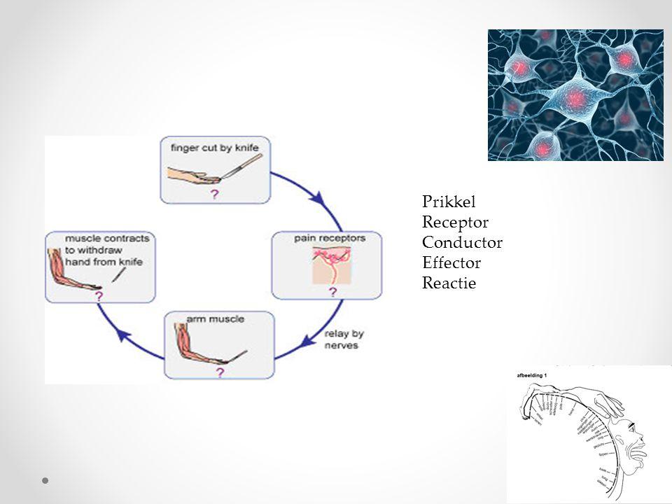 zenuwcellen • Om uitloper ligt een myelineschede • Of mergschede • Bestaat uit cellen van Schwann • Insnoering tussen 2 cellen van Schwann • Bouw: • In cellichaam : kern, mitochondriën, ER, ribosomen o Cellichamen allemaal in of dichtbij centrale zenuwstelsel • Uitlopers  geleiding impulsen • Naar cellichaam toe : dendriet • Van cellichaam af : axon of neuriet