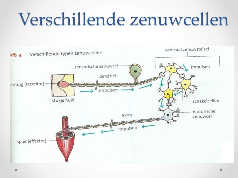 synapsen • Overdracht van impulsen van de ene zenuwcel naar vele andere •