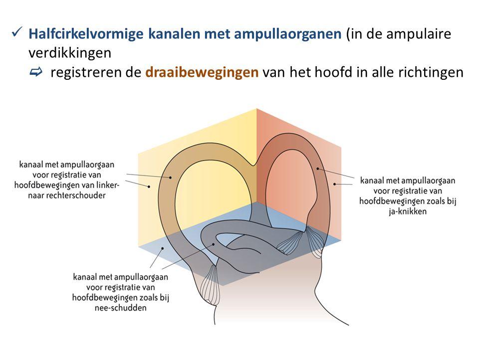  Halfcirkelvormige kanalen met ampullaorganen (in de ampulaire verdikkingen  registreren de draaibewegingen van het hoofd in alle richtingen