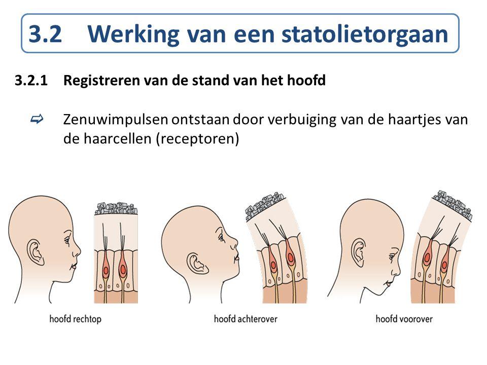 3.2 Werking van een statolietorgaan 3.2.1Registreren van de stand van het hoofd  Zenuwimpulsen ontstaan door verbuiging van de haartjes van de haarce