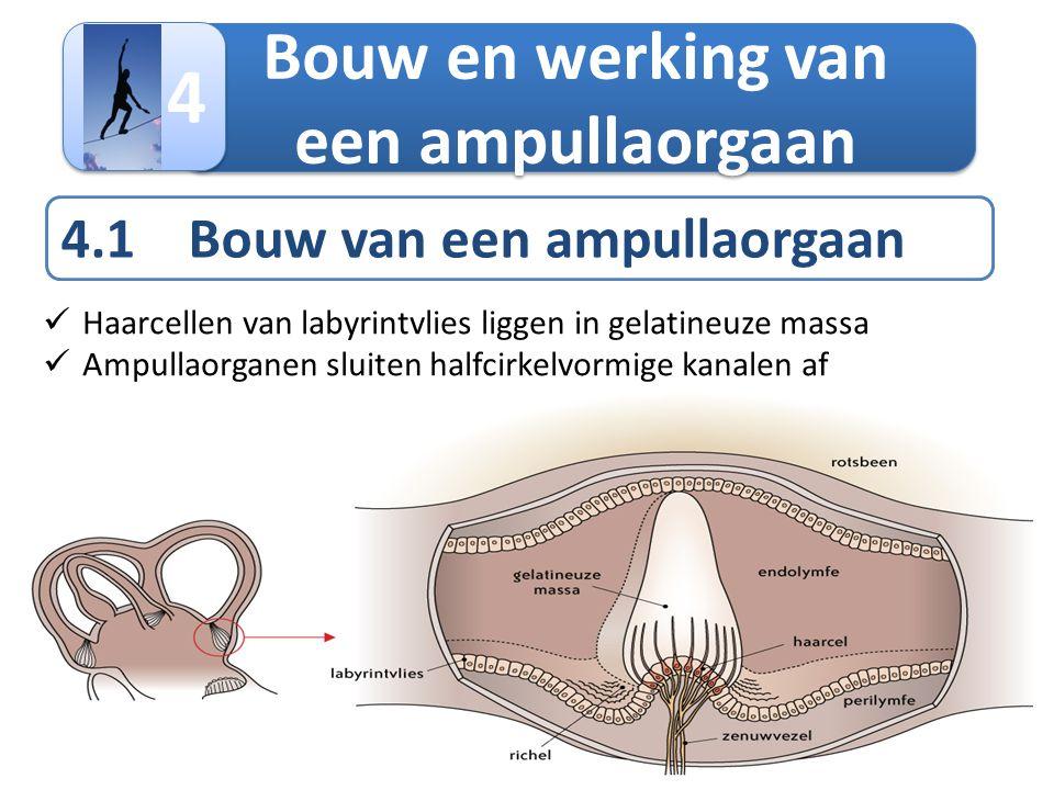 Bouw en werking van een ampullaorgaan 4 4 4.1 Bouw van een ampullaorgaan  Haarcellen van labyrintvlies liggen in gelatineuze massa  Ampullaorganen s