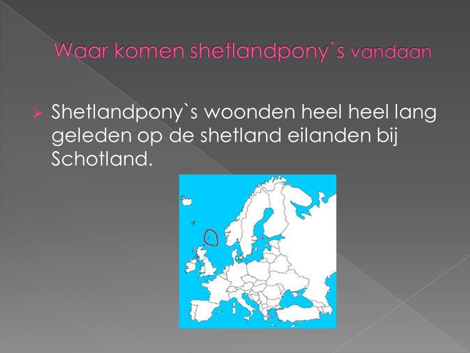  Shetlandpony`s woonden heel heel lang geleden op de shetland eilanden bij Schotland.