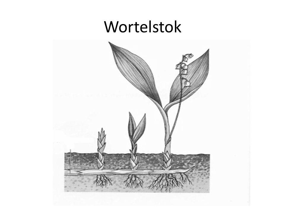 Wortelstok