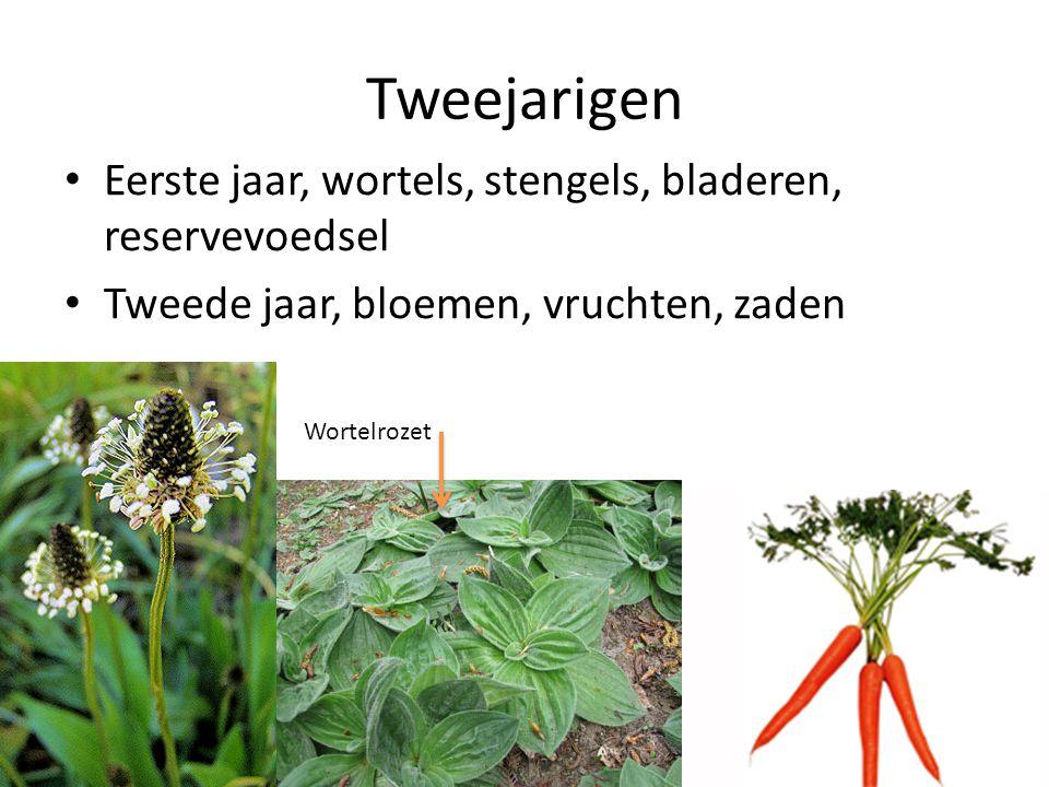 Tweejarigen • Eerste jaar, wortels, stengels, bladeren, reservevoedsel • Tweede jaar, bloemen, vruchten, zaden Wortelrozet