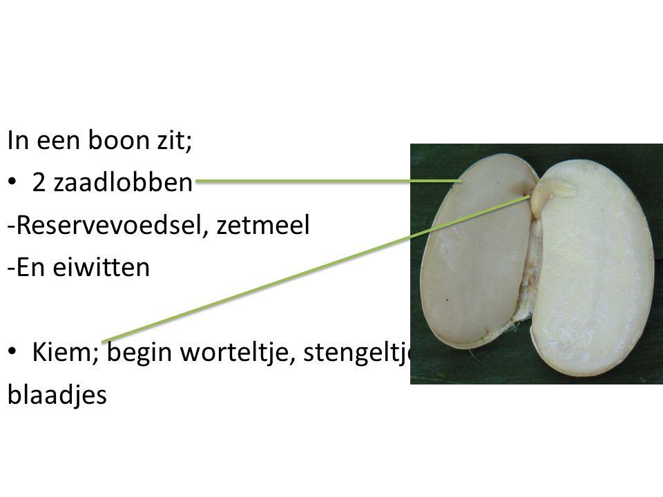 In een boon zit; • 2 zaadlobben -Reservevoedsel, zetmeel -En eiwitten • Kiem; begin worteltje, stengeltje, blaadjes