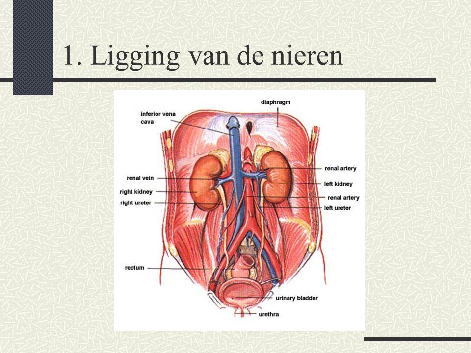 2. Macroscopische bouw nier