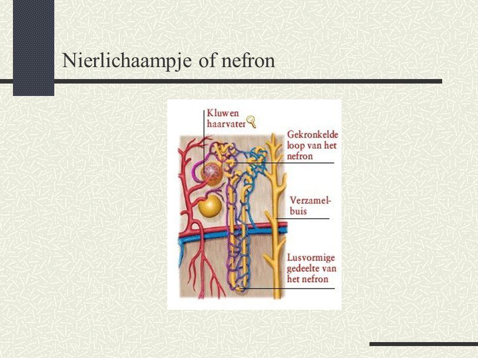 Nierlichaampje of nefron