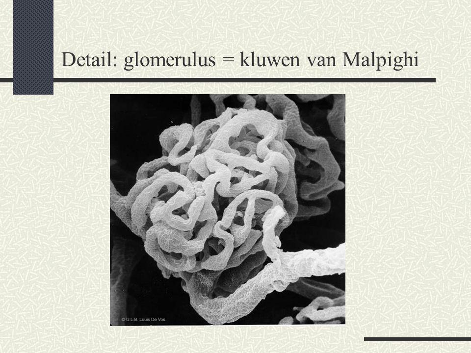 Detail: glomerulus = kluwen van Malpighi