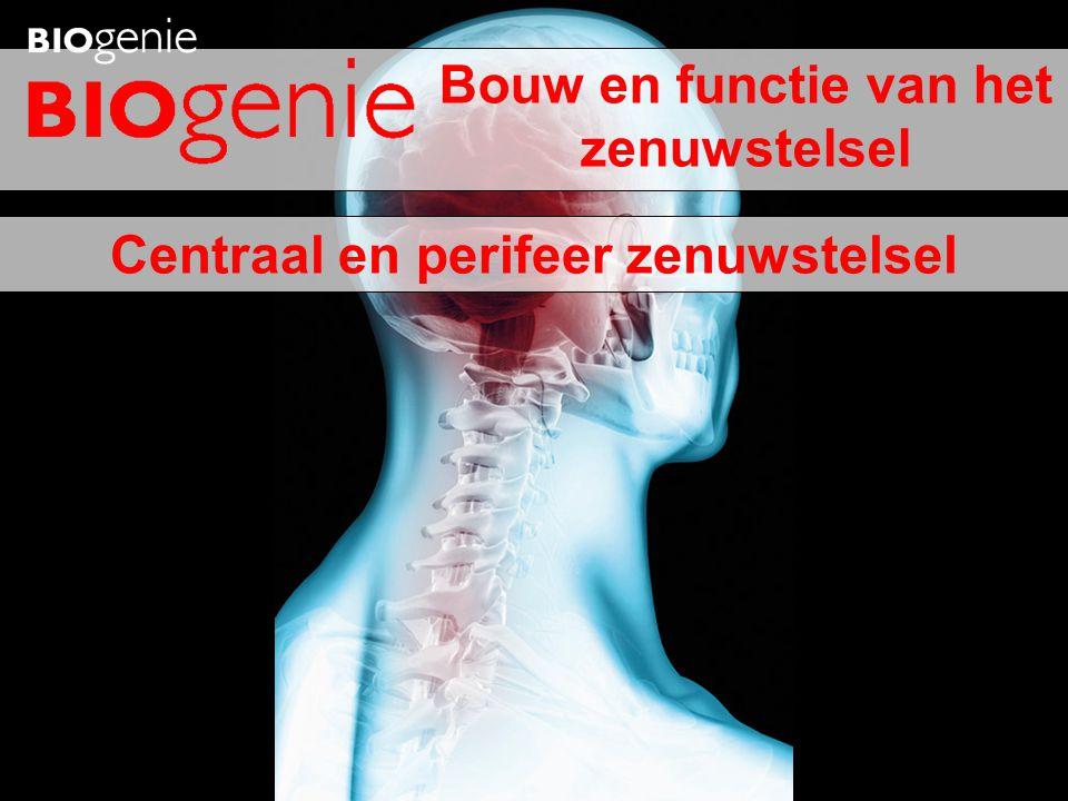Witte stof Rugzijde Buikzijde Grijze stof Ruggenmergkanaal 3 ruggenmergvliezen • Vocht tussen vliezen = schokdemper • Binnenste vlies: zenuwweefsel voorzien van voedingsstoffen en zuurstof Ruggenmergvliezen (schematisch) Ruggenmerg Meningitis •= ontsteking van hersen- en ruggenmergvliezen.