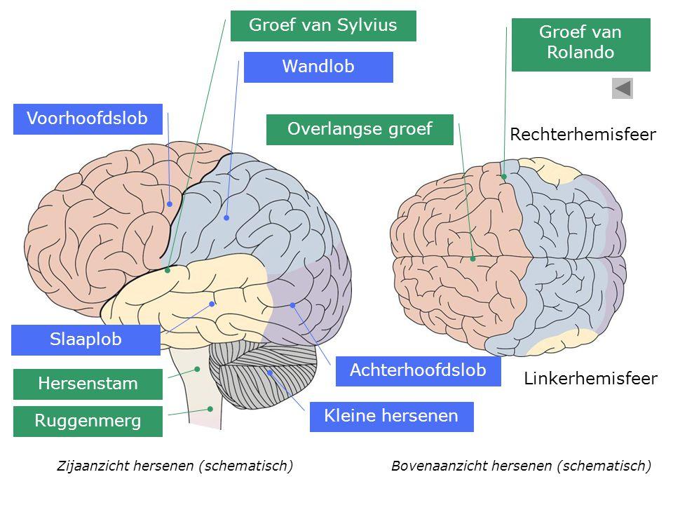 Zijaanzicht hersenen (schematisch) Voorhoofdslob Kleine hersenen Bovenaanzicht hersenen (schematisch) Wandlob Slaaplob Achterhoofdslob Hersenstam Rugg