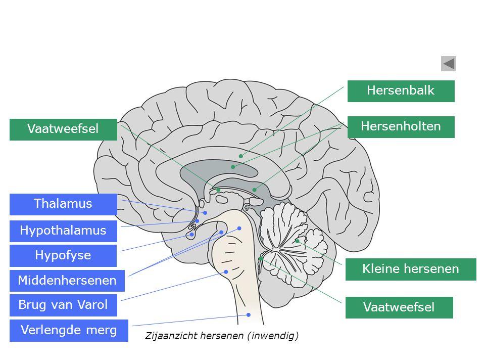 Verlengde merg Brug van Varol Middenhersenen Hypofyse Hypothalamus Thalamus Vaatweefsel Zijaanzicht hersenen (inwendig) Kleine hersenen Hersenbalk Her