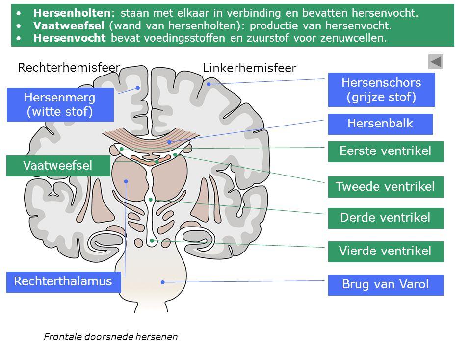 Frontale doorsnede hersenen Hersenbalk Tweede ventrikel Linkerhemisfeer Rechterhemisfeer Eerste ventrikel Derde ventrikel Vierde ventrikel Brug van Va