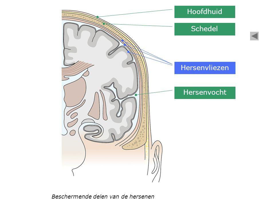 Beschermende delen van de hersenen Hoofdhuid Schedel Hersenvliezen Hersenvocht