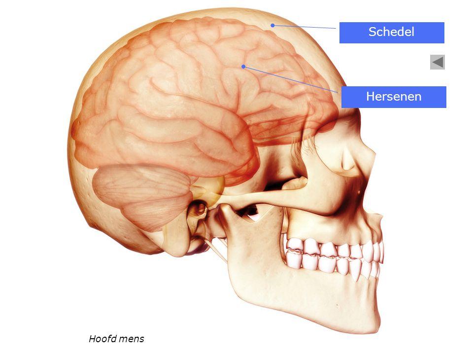 Hoofd mens Schedel Hersenen