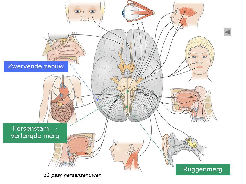 12 paar hersenzenuwen Zwervende zenuw Ruggenmerg Hersenstam  verlengde merg