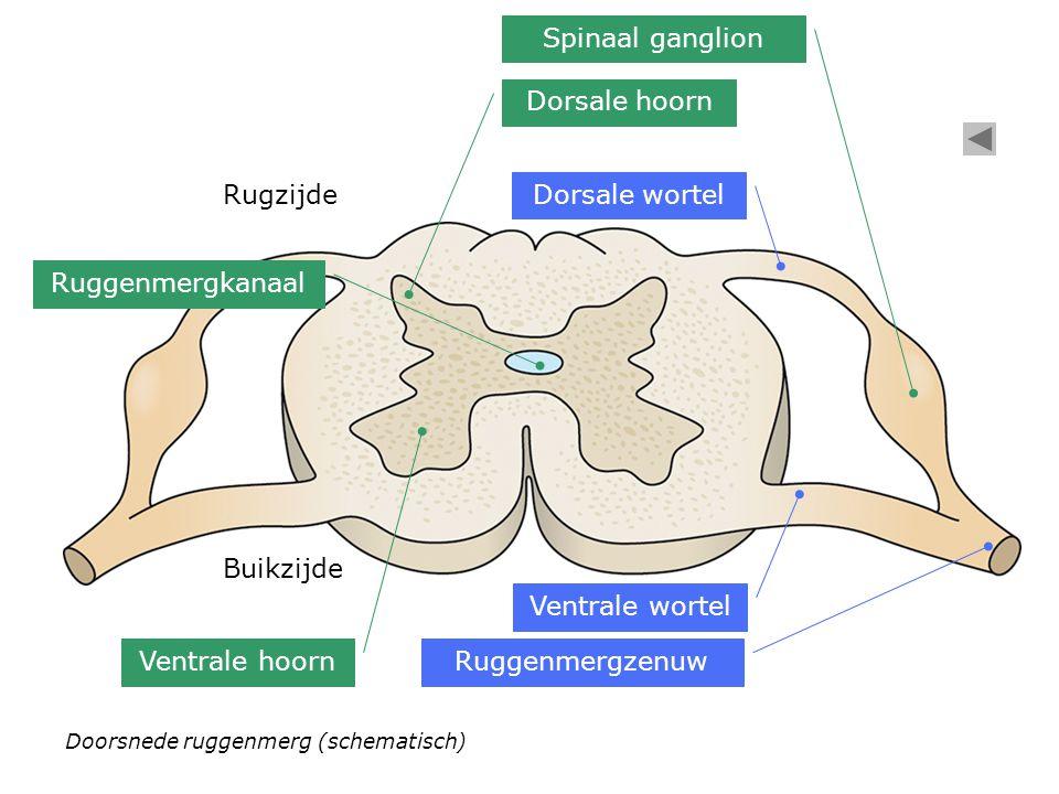 Dorsale wortel Ventrale wortel Ruggenmergzenuw Dorsale hoorn Ventrale hoorn Ruggenmergkanaal Spinaal ganglion Rugzijde Buikzijde Doorsnede ruggenmerg