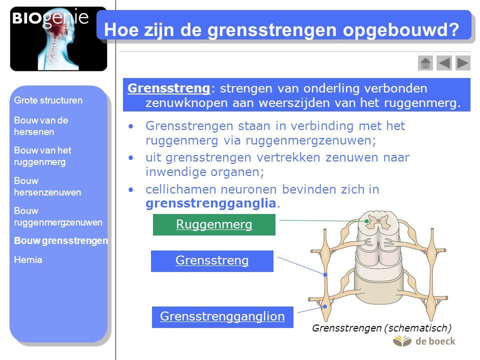 Hoe zijn de grensstrengen opgebouwd? •Grensstrengen staan in verbinding met het ruggenmerg via ruggenmergzenuwen; •uit grensstrengen vertrekken zenuwe