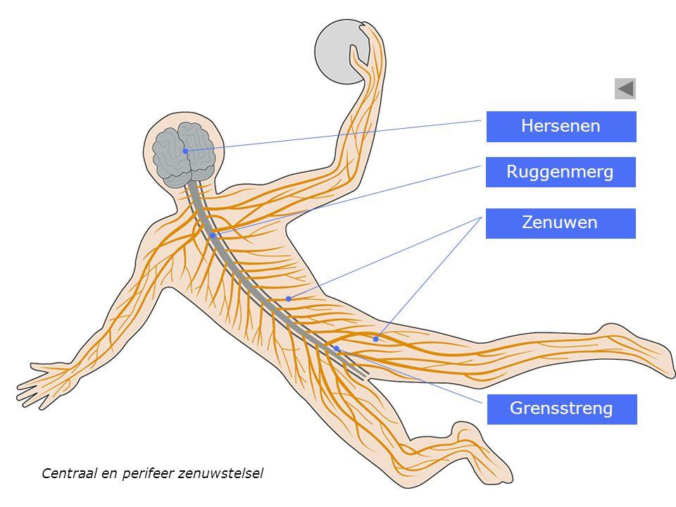 Centraal en perifeer zenuwstelsel Hersenen Ruggenmerg Zenuwen Grensstreng