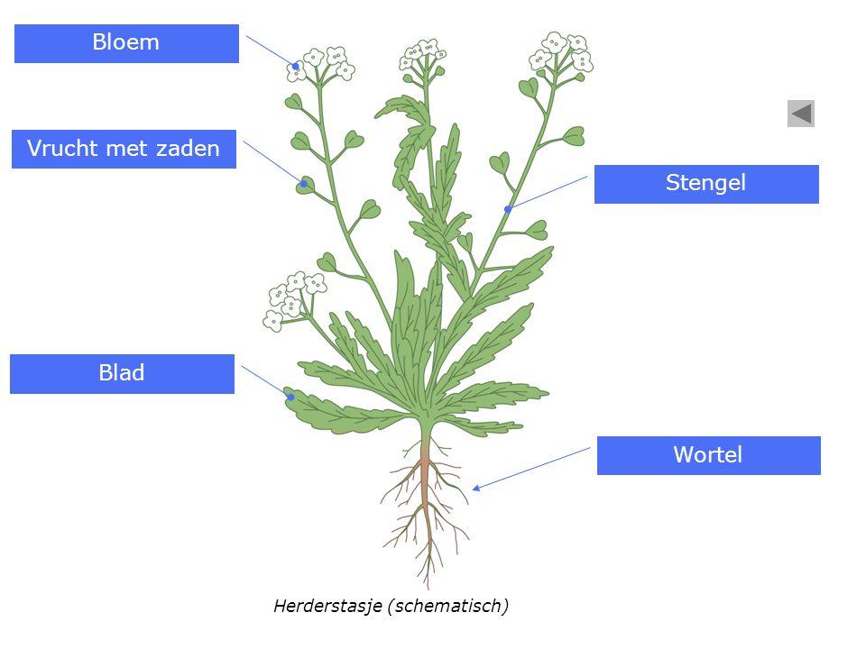 Herderstasje (schematisch) Bloem Vrucht met zaden Blad Stengel Wortel
