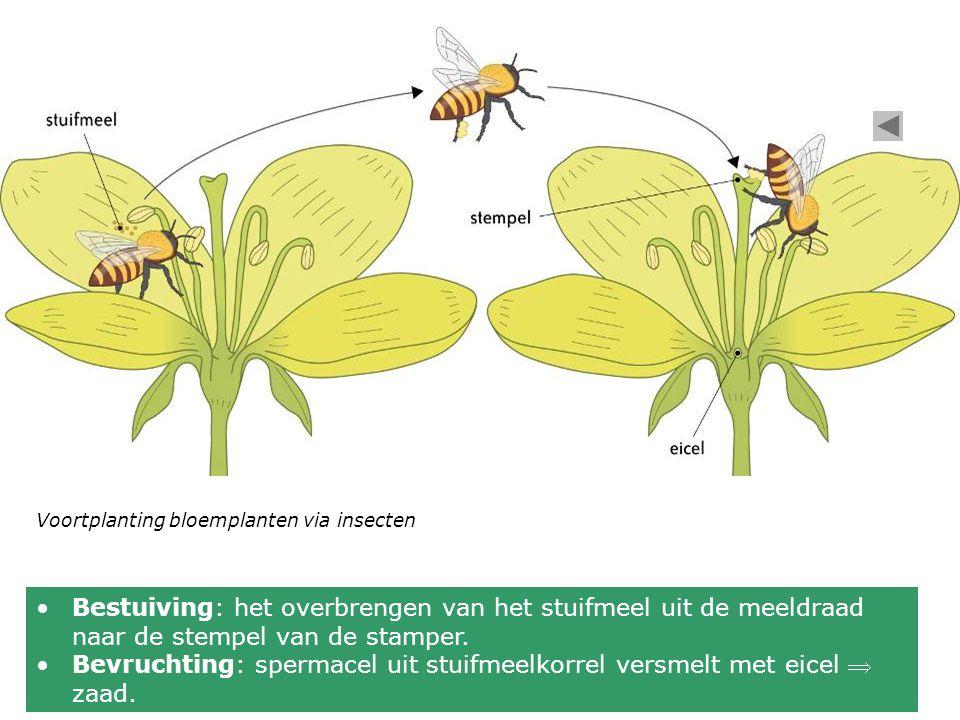 •Bestuiving: het overbrengen van het stuifmeel uit de meeldraad naar de stempel van de stamper.