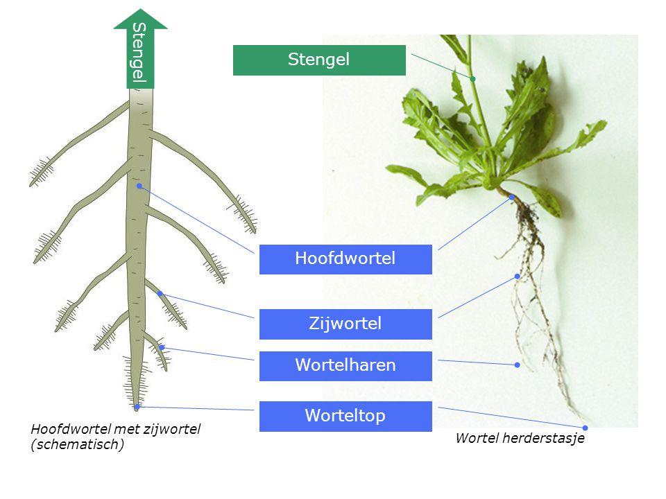 Hoofdwortel Zijwortel Wortelharen Stengel Worteltop Stengel Hoofdwortel met zijwortel (schematisch) Wortel herderstasje