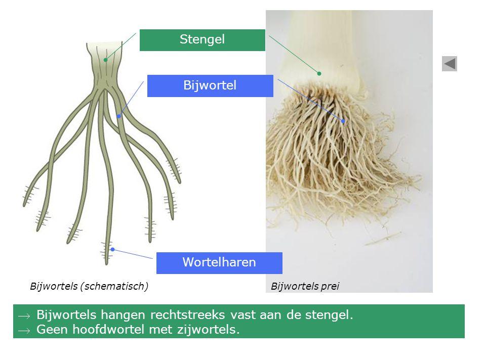 Stengel Bijwortel Wortelharen Bijwortels preiBijwortels (schematisch) Bijwortels hangen rechtstreeks vast aan de stengel.