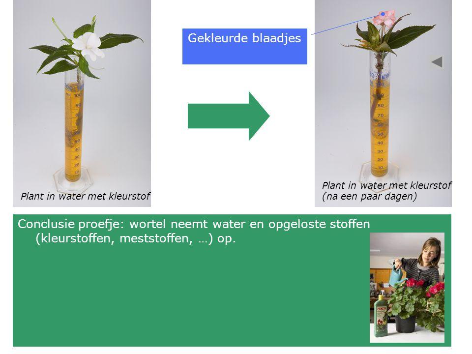 Plant in water met kleurstof (na een paar dagen) Gekleurde blaadjes Conclusie proefje: wortel neemt water en opgeloste stoffen (kleurstoffen, meststoffen, …) op.