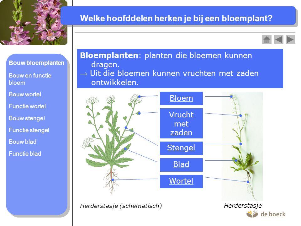 Welke hoofddelen herken je bij een bloemplant.Bloemplanten: planten die bloemen kunnen dragen.
