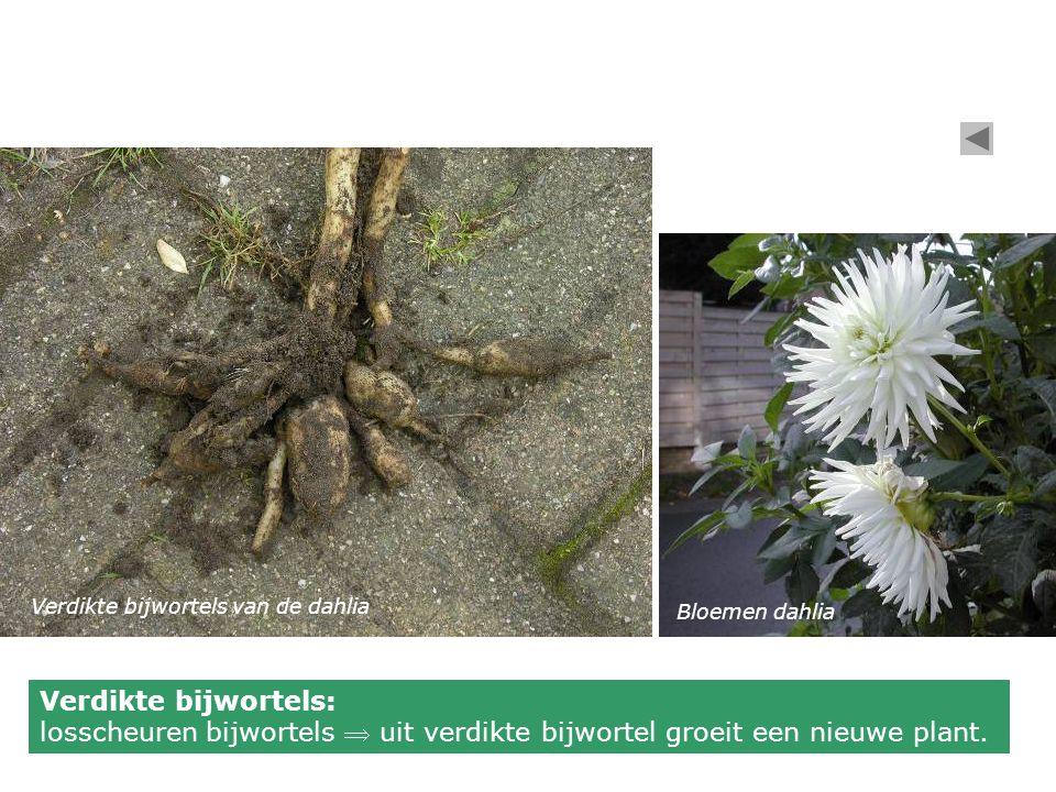 Verdikte bijwortels van de dahlia Bloemen dahlia Verdikte bijwortels: losscheuren bijwortels  uit verdikte bijwortel groeit een nieuwe plant.
