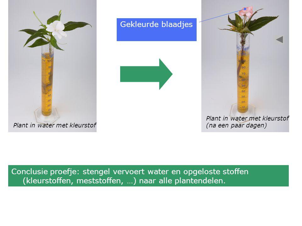 Plant in water met kleurstof (na een paar dagen) Gekleurde blaadjes Conclusie proefje: stengel vervoert water en opgeloste stoffen (kleurstoffen, meststoffen, …) naar alle plantendelen.