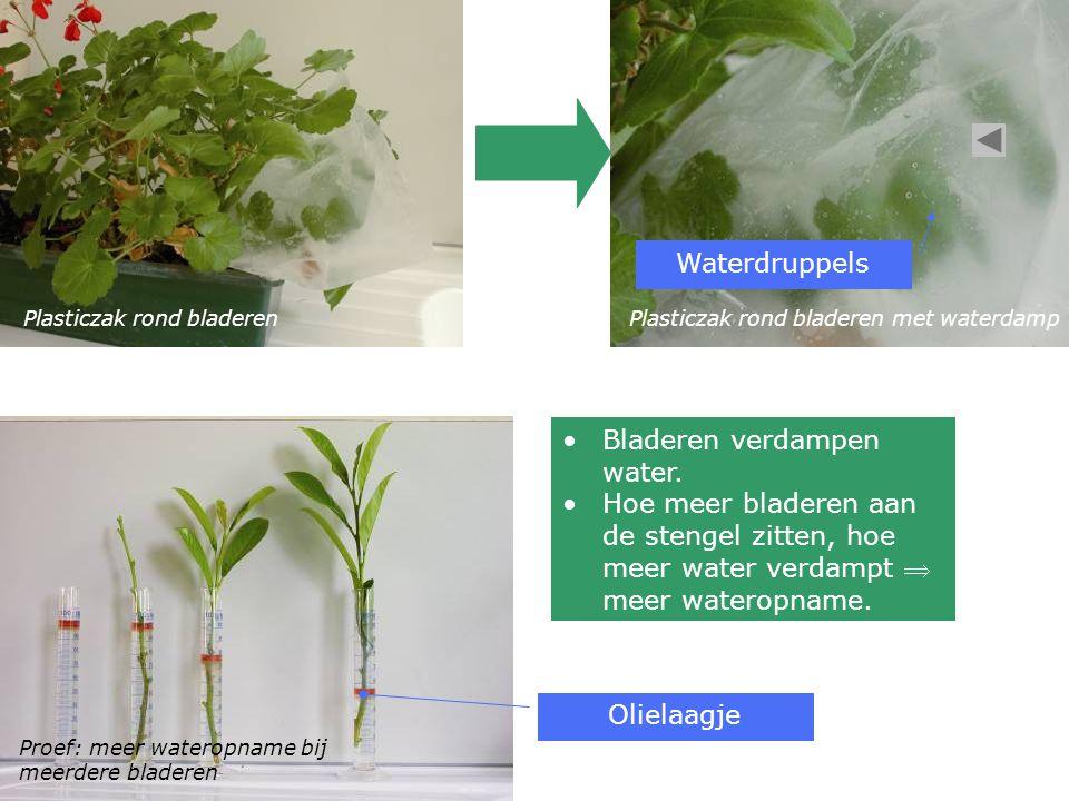 Plasticzak rond bladerenPlasticzak rond bladeren met waterdamp Proef: meer wateropname bij meerdere bladeren •Bladeren verdampen water.