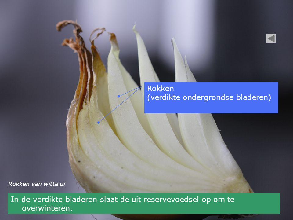 Rokken (verdikte ondergrondse bladeren) Rokken van witte ui In de verdikte bladeren slaat de uit reservevoedsel op om te overwinteren.