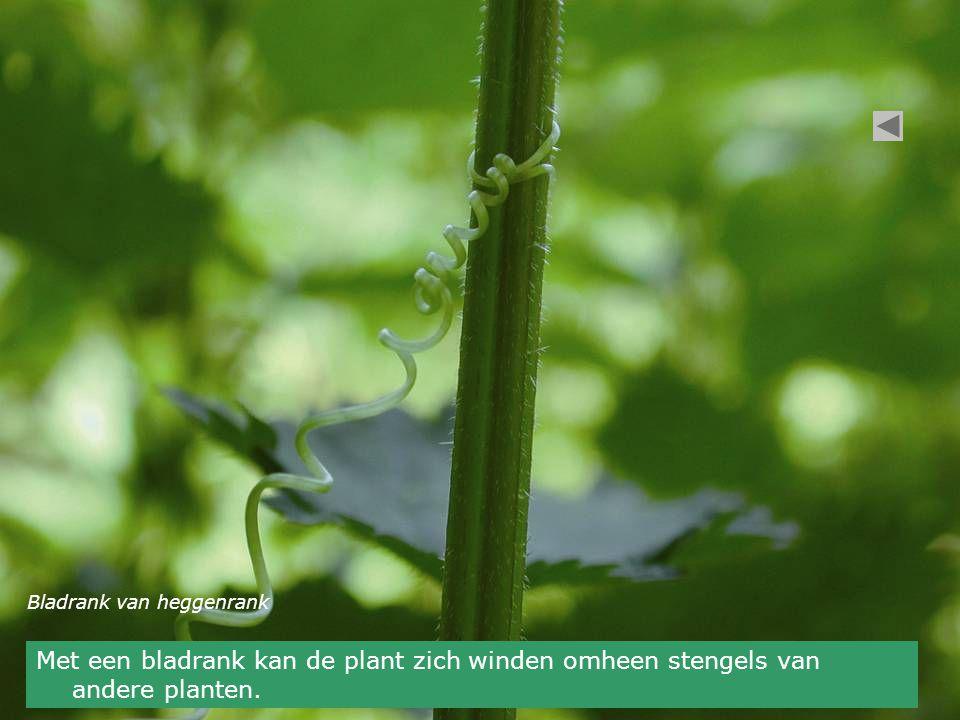 Bladrank van heggenrank Met een bladrank kan de plant zich winden omheen stengels van andere planten.