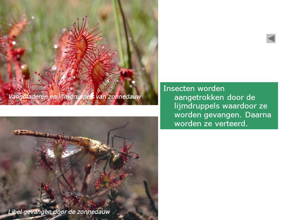 Vangbladeren en lijmdruppels van zonnedauw Libel gevangen door de zonnedauw Insecten worden aangetrokken door de lijmdruppels waardoor ze worden gevangen.