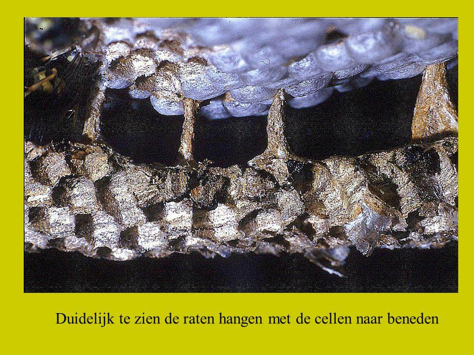 In een wespen nest zitten verschillende raten verbonden door pilaartjes