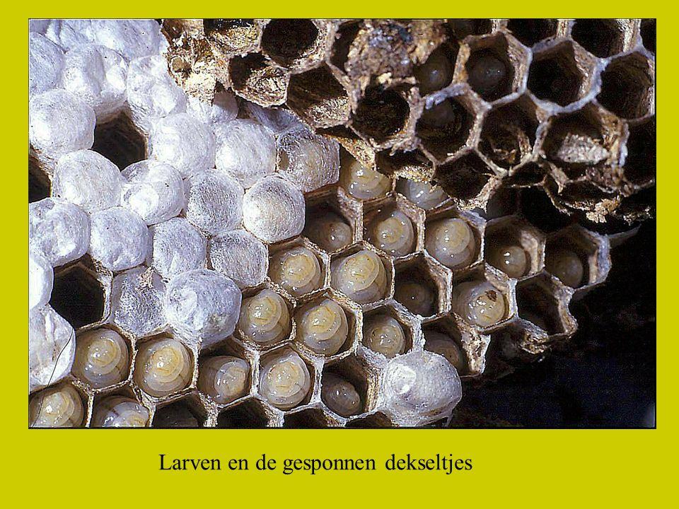 De larven spinnen de witte dekseltjes en daaronder vindt de metamorphose plaats en uiteindelijk komt dan een wesp te voorschijn.
