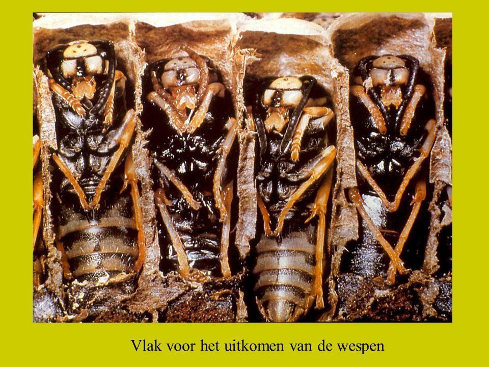 Links boven eitjes. Rechts boven larven. In het midden uitkomende wesp