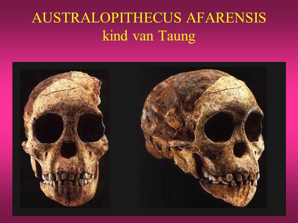 AUSTRALOPITHECUS AFARENSIS kind van Taung