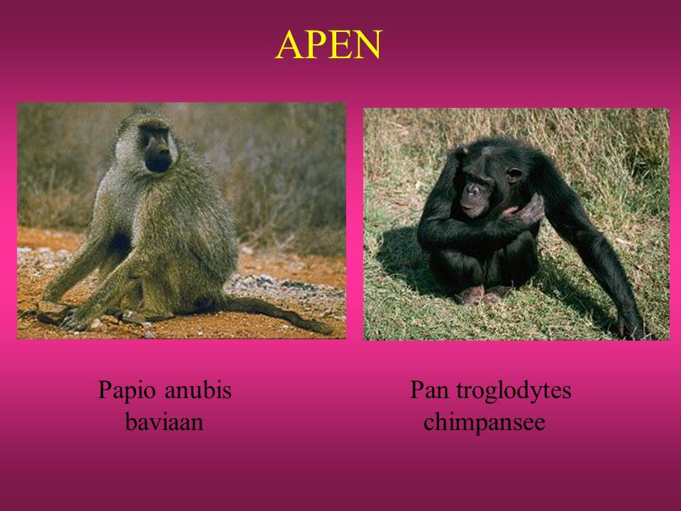APEN Papio anubis Pan troglodytes baviaan chimpansee