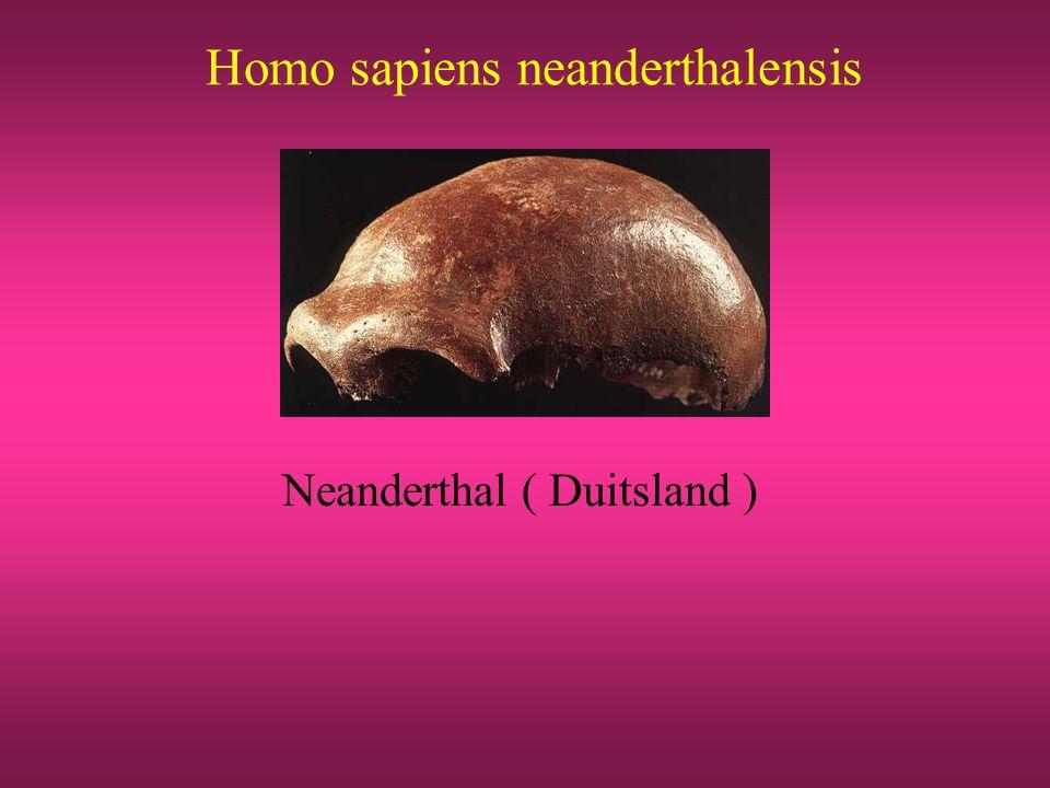 Homo sapiens neanderthalensis Neanderthal ( Duitsland )