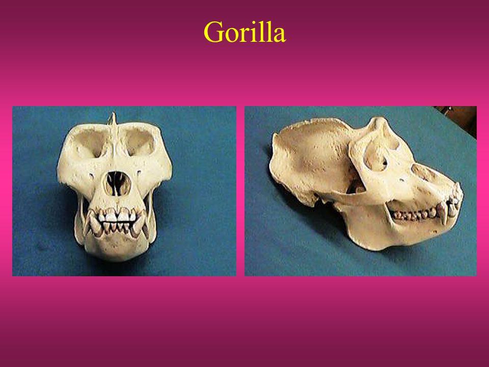 AUSRALOPITHECUS AFRICANUS bekken dijbeen voet Chimpansee Australopithecus Mens