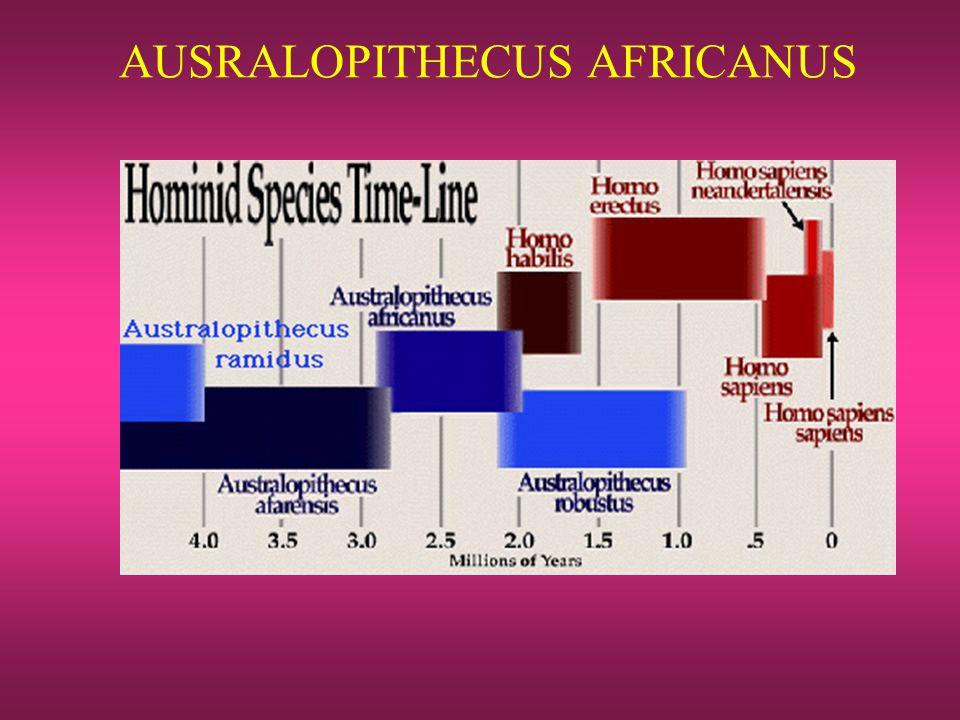 AUSRALOPITHECUS AFRICANUS
