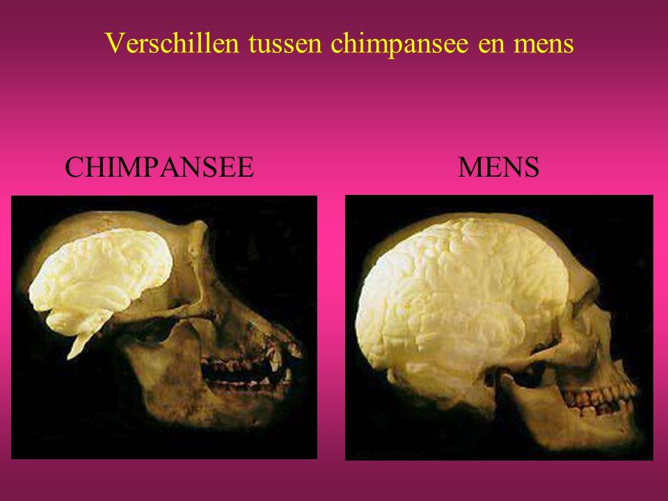 Verschillen tussen chimpansee en mens CHIMPANSEEMENS